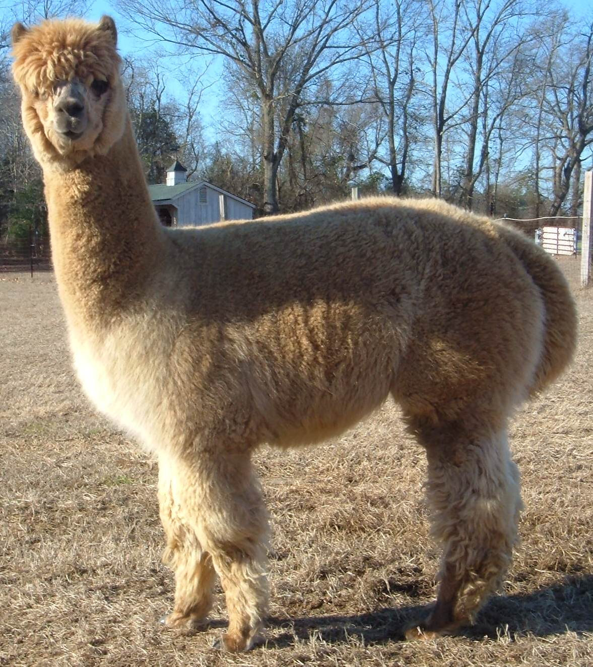 Jr herdsires clearview farm ranch for Alpacas view farm cuisine